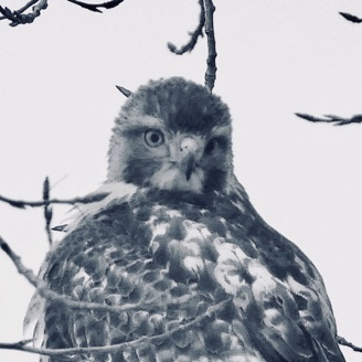 This young hawk - picture taken near Old Mill Bridge appears in the novel.